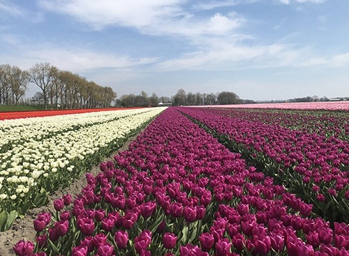 tulip-fields_beemster_purple_HansLanghTours