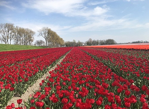 tulip-fields_beemster_red_HansLanghTours