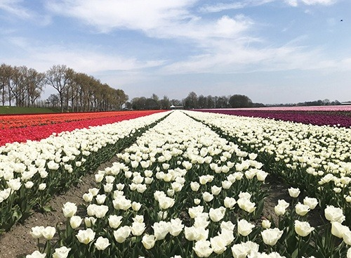 tulip-fields_beemster_white_HansLanghTours